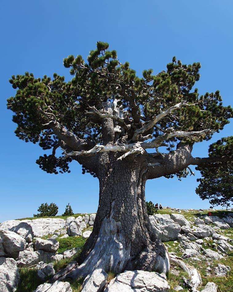 Il pino loricato più amato